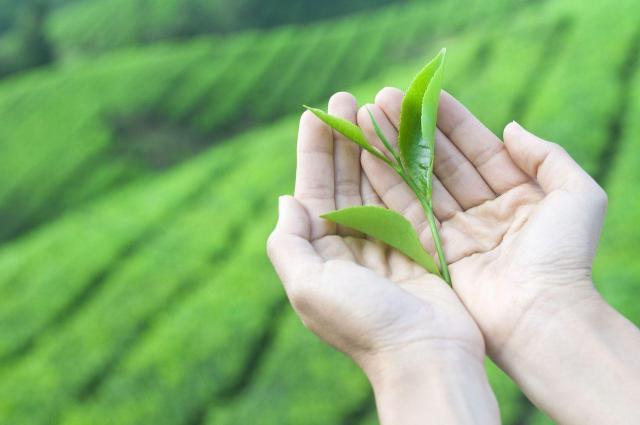Jak wyleczyć potliwość rąk za pomocą herbaty?