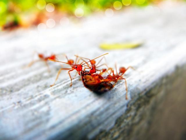 Jak pozbyć się mrówek z domowych zakamarków?